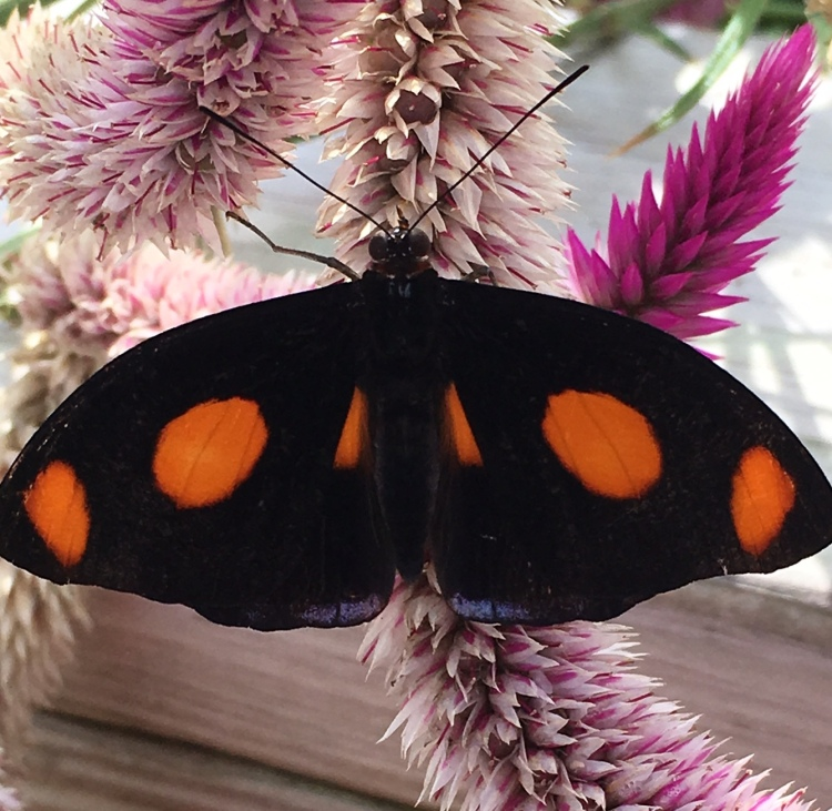 img_5059-butterfly
